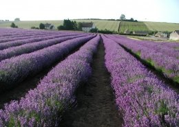 Fields of Lavender in Snowshill, Gloucestershire